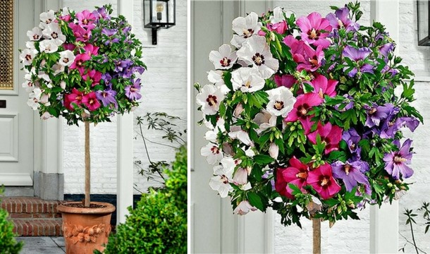 Extra Large Tricolor Hibiscus Tree Three Colours On One Tree 1